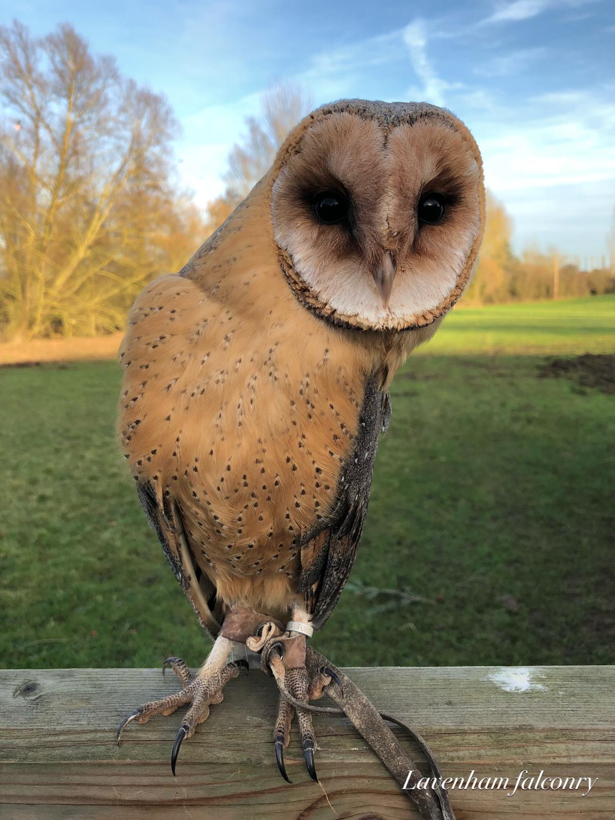Hector the dark breasted barn owl - Lavenham Falconry